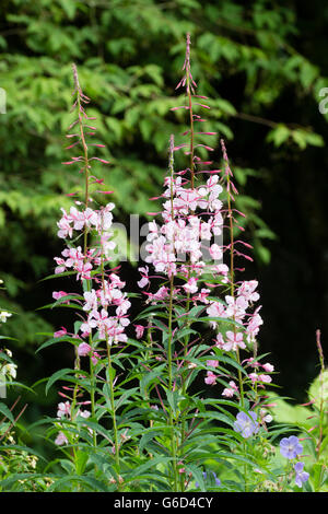 Tall flower spikes of the selected form of the Rosebay willow herb, Chamaenerion angustifolium 'Stahl Rose' - Stock Photo