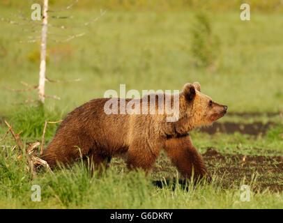 Eurasian Brown Bear (Ursus arctos arctos) in Kuusamo in Finland, near the Russian border. - Stock Photo