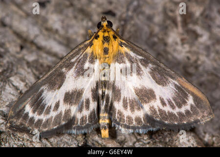 Small magpie moth (Anania hortulata). Boldly patterned micro moth in the family Crambidae, formerly Pyralidae - Stock Photo