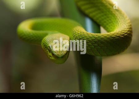 grüne Schlange, Green Snake in attack position - Stock Photo