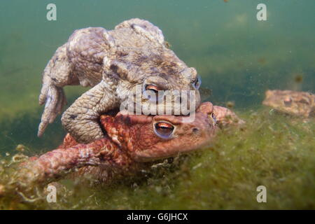 common toad, pairing, underwater, Germany / (Bufo bufo) - Stock Photo