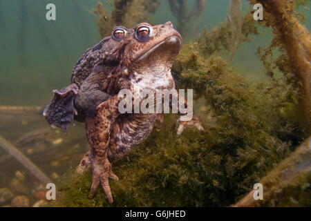 common toad, pairing, Germany / (Bufo bufo) - Stock Photo