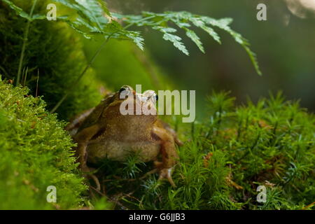 common frog, Germany / (Rana temporaria) - Stock Photo