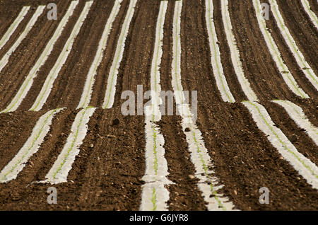 Sunflower (Helianthus annuus) seedlings in a field, Limagne, Auvergne, France, Europe - Stock Photo