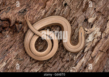 Blindworm on bark - Stock Photo