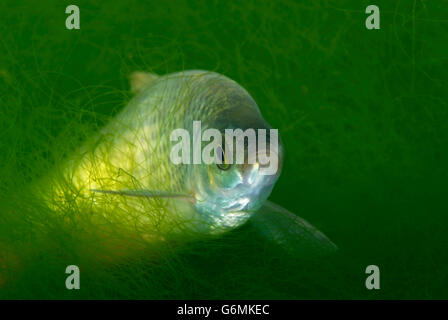 Prussian carp / (Carassius auratus gibelio) - Stock Photo