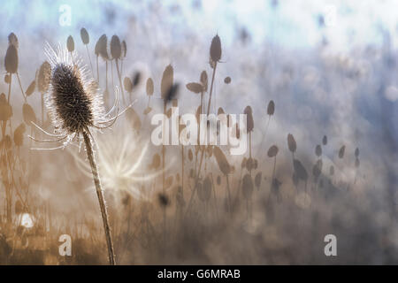 Autumn thistle in a white contour of dawn light, with a white shadow and gradual color changes from sepia to frosty - Stock Photo