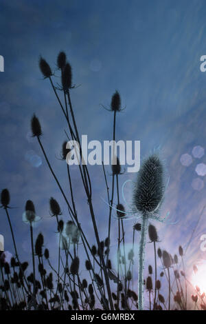 Autumn thistle at dawn with a blue contour from the back light. - Stock Photo