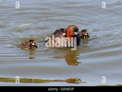 Mature Eurasian Little Grebe (Tachybaptus ruficollis) with two young chicks swimming next to her, another baby riding - Stock Photo