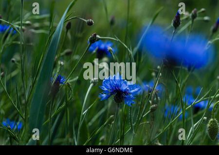 Blue cornflowers, Centaurea cyanus - Stock Photo