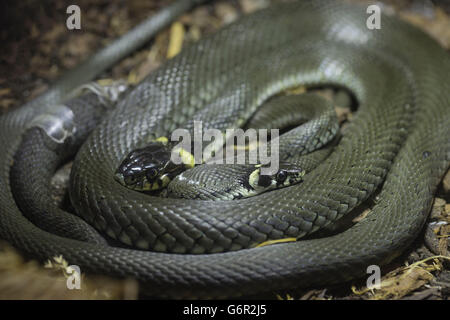 two grass snakes curled together, basking, Europe / (Natrix natrix) - Stock Photo