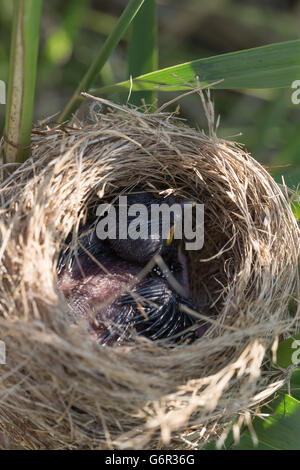 Common Cuckoo, juvenile in nest of Reed Warbler, Schleswig-Holstein, Germany, (Cuculus canorus) - Stock Photo