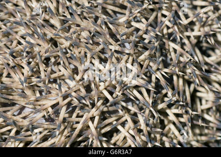 Four-toed Hedgehog, Bulgaria / (Atelerix albiventris) / African Pygmy Hedgehog, prickles - Stock Photo