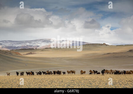 cows in the landscape of western Mongolia - Stock Photo