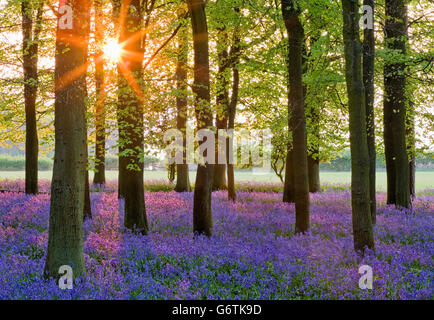 Bluebell Woodland, Bluebells (Hyacinthoides non-scripta) growing in forest beside beech trees (Fagus sylvatica), - Stock Photo
