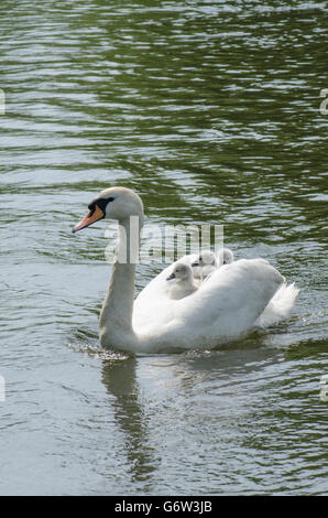 Mute Swan [Cygnus olor] carrying babies on its back on the River Ant, The Norfolk Broads, UK - Stock Photo