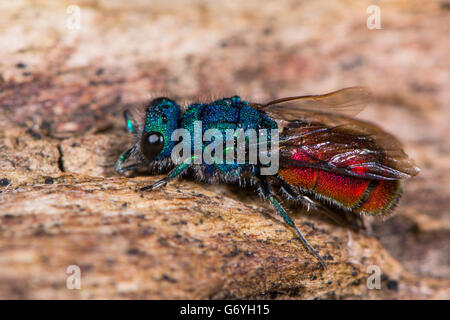 Ruby-tailed wasp (Chrysis sp.). Cuckoo wasp in family Chrysididae with bright metallic blue and red markings, aka - Stock Photo