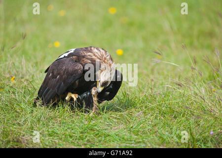 Imperial Eagle with prey, European Ground Squirrel, Marchauen, Lower Austria, Austria / (Aquila heliaca), (Citellus - Stock Photo
