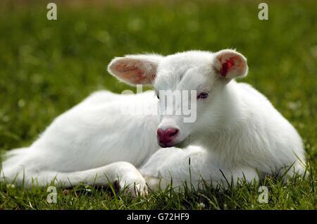 Lightning The Albino Antelope - Stock Photo