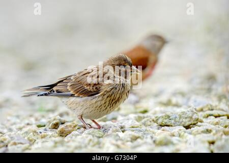 A sharply rendered and detailed Baby Linnet shadowed by a colorful blurred male adult guardian on a background of - Stock Photo