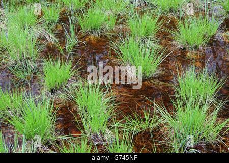 Seggen (Carex) Bannwald, Schutzwald, Waldschutzgebiet, Moorwasser, Pfrunger-Burgweiler Ried, Baden-Wuerttemberg, - Stock Photo