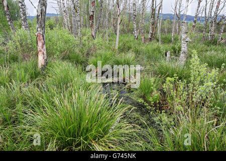Birkenwald, Seggen (Carex) Bannwald, Schutzwald, Waldschutzgebiet, Moorwasser, Pfrunger-Burgweiler Ried, Baden-Wuerttemberg, - Stock Photo