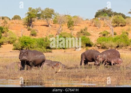 hippo, Chobe river, Botswana, Africa / (hippopotamus) - Stock Photo