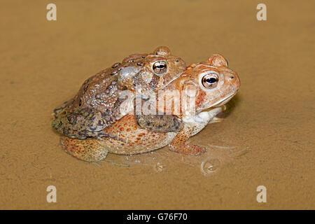 American toads, Bufo americanus, (Anaxyrus americanus), Maryland, Pair in amplexus - Stock Photo