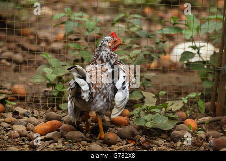 Speckled chicken by a wire fence in a barnyard