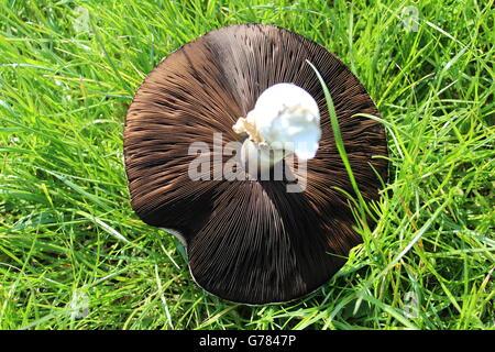 Freshly picked, British Field mushroom on grass, underside showing.