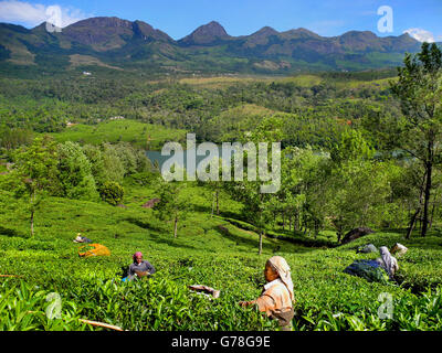 Green tea plantations in the mountains of Munnar, Kerala, India - Stock Photo