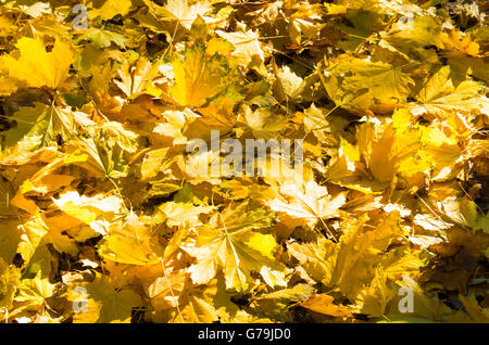 Selective focus on a set of yellow autumn fallen maple leaves close-up that lie thick on the lawn. - Stock Photo