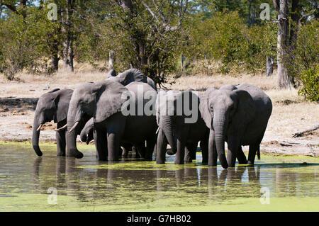 Elephants (Loxodonta africana), Savute Channel, Linyanti, Botswana, Africa - Stock Photo