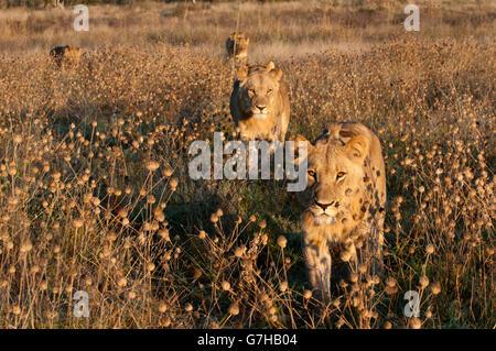 Lion pride (Panthera leo), Savute Channel, Linyanti, Botswana, Africa - Stock Photo