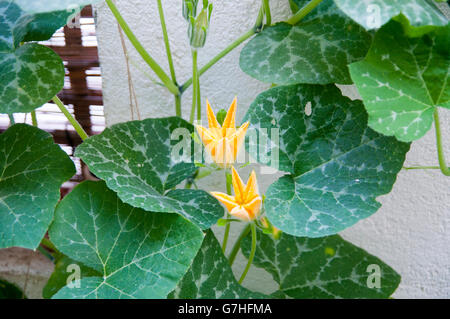 In the garden grows a large pumpkin dark green surrounded by green pumpkin plant with large yellow flowers grows in a garden stock photo mightylinksfo