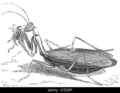 Mantis religiosa, praying mantis, insect, Mantidae, illustration from book dated 1904 - Stock Photo