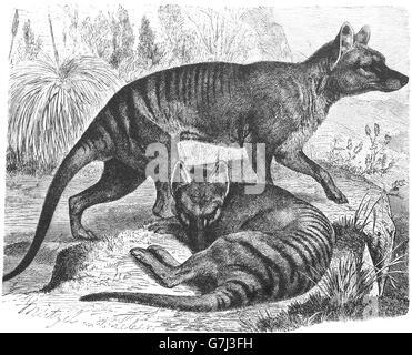 Thylacine, Thylacinus cynocephalus, Tasmanian wolf, illustration from book dated 1904 - Stock Photo