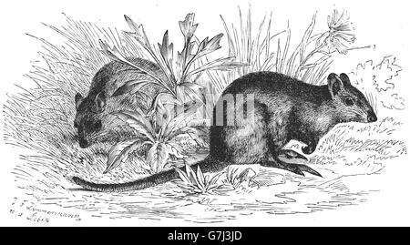 Long-nosed potoroo, Potorous tridactylus, illustration from book dated 1904 - Stock Photo