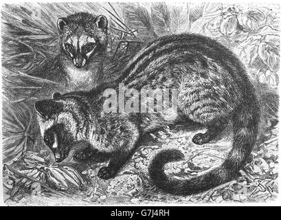 Asian palm civet, Paradoxurus hermaphroditus, toddy cat, Viverridae, illustration from book dated 1904 - Stock Photo