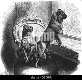Pug dog breed, Mops, Carlin, illustration from book dated 1904 - Stock Photo