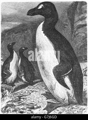 Great auk, Pinguinus impennis, illustration from book dated 1904 - Stock Photo