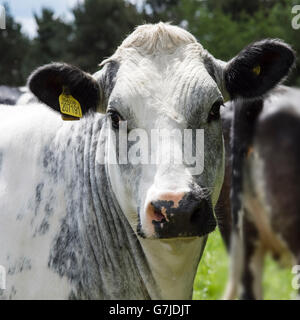 A tagged cow, UK 304238 207191, on the Teesdale Way near Barnard Castle, County Durham, England, UK - Stock Photo