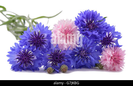 Blue and pink Cornflowers isolated on white - Stock Photo