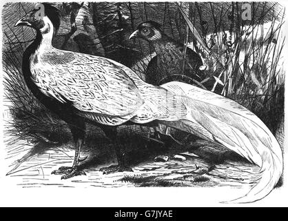 Silver pheasant, Lophura nycthemera, Phasianidae, Galliformes, illustration from book dated 1904 - Stock Photo
