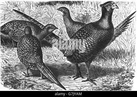 Common pheasant, Phasianus colchicus, Phasianidae, Galliformes, illustration from book dated 1904 - Stock Photo