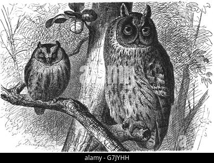 Eurasian scops owl, Otus scops and long-eared owl, Asio otus, illustration from book dated 1904 - Stock Photo