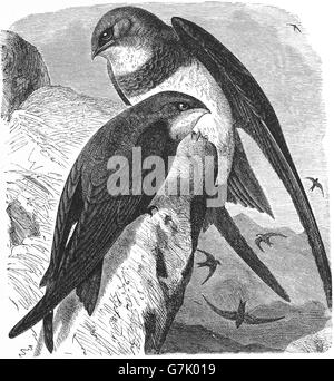 Alpine swift, Tachymarptis melba and Common swift, Apus apus, illustration from book dated 1904 - Stock Photo