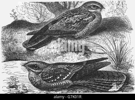 European nightjar, Caprimulgus europaeus and red-necked nightjar, Caprimulgus ruficollis, illustration from book - Stock Photo