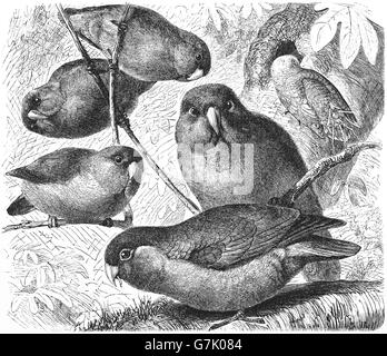 Rosy-faced lovebird, Agapornis roseicollis, illustration from book dated 1904 - Stock Photo