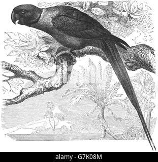 Rose-ringed parakeet, Psittacula krameri, ring-necked parakeet, illustration from book dated 1904 - Stock Photo